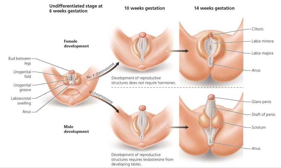 Как происходит развитие гениталий эмбриона на 6-ой, 10-ой и 14-ой неделе беременности.